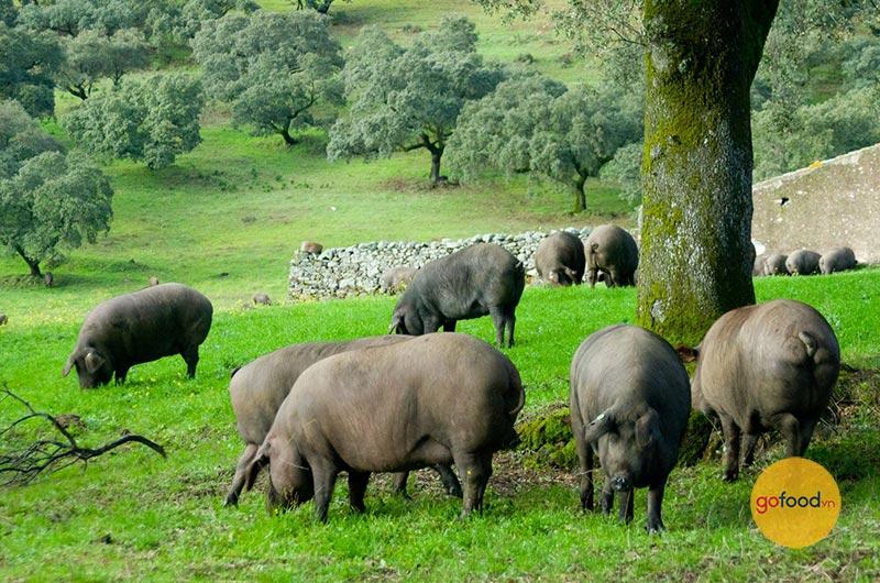 Những chú heo đen Iberico được nuôi tại Tây Ban Nha